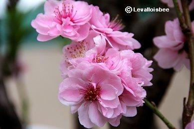 桃の花downsize