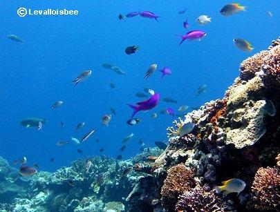 グルクンやハナゴイが舞うサンゴ礁REVdownsize