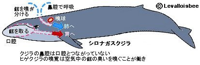 ヒゲクジラの嗅覚
