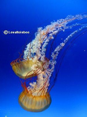 幻想的なクラゲPacific sea nettleのペアdownsize