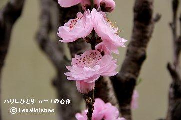 次々と開いた桃の花downsize