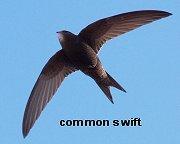 common swift WikiENGよりREVdownsize