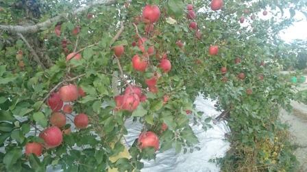 リンゴ畑01