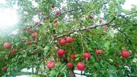 リンゴ畑02