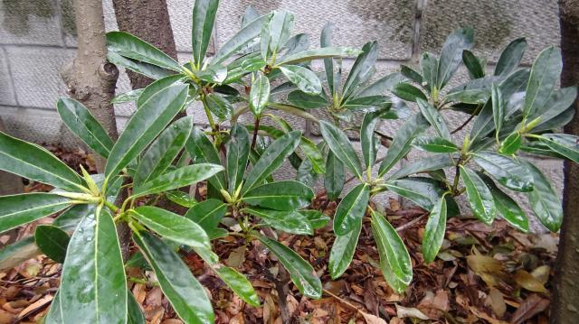 庭植えの淡路シャクナゲ (実生9年生)