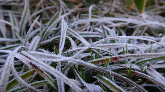 草(種名不明)の上にも霜