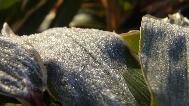 ミヤマクマザサの上にも霜 拡大
