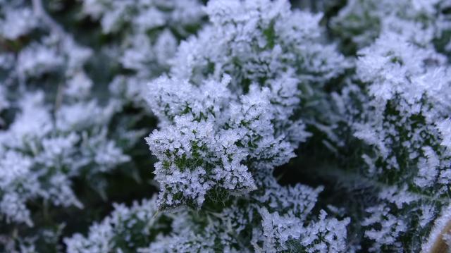 トゲアザミの越冬株が霜で真っ白 拡大