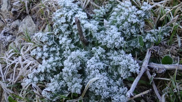 トゲアザミの越冬株が霜で真っ白