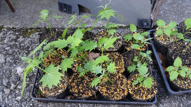 キレンゲショウマの苗作り