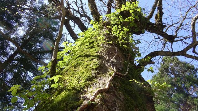 幹周4mありそうなハリギリの大木は、やっと冬眠からさめた