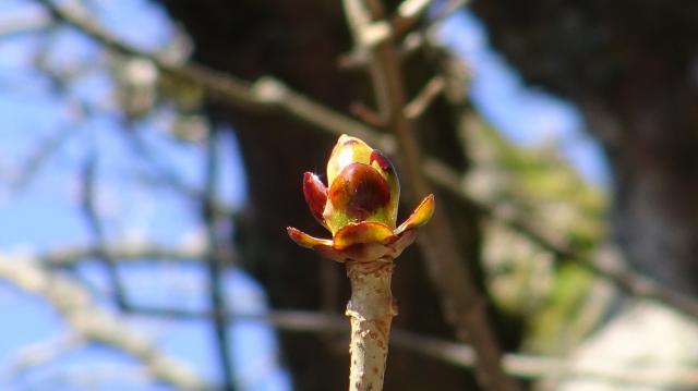 ハリギリの芽はまだ小さい