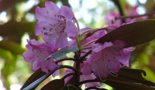 花冠は7裂する