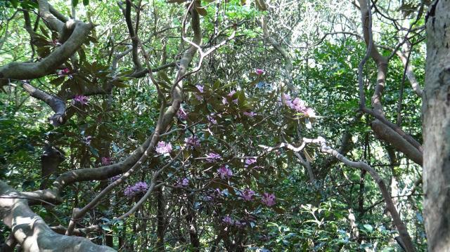 照葉樹林の林床にシャクナゲがある