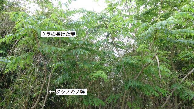 タラノ葉が大きく展開