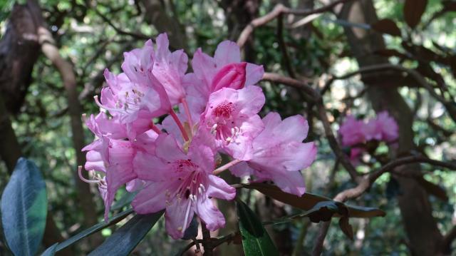 深山の麗花とか、花木の女王などと称されるシャクナゲ
