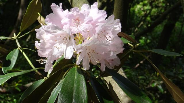 花色の薄いものが、満開後に褪色すると白シャクナゲっぽい