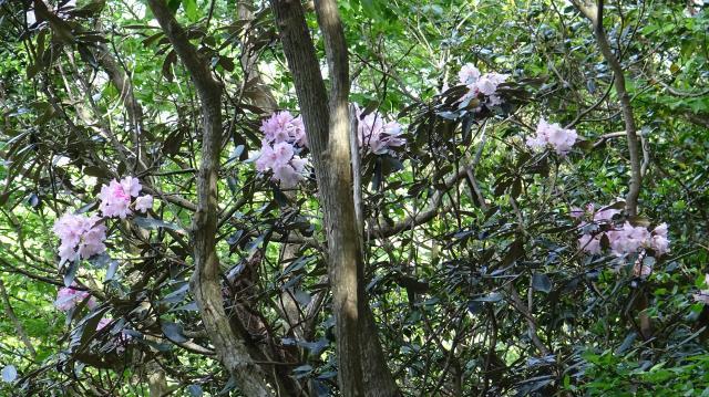 暖帯照葉樹林の林床に生育する低木