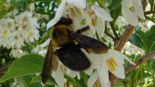 エゴノキの花は、クマバチのお気に入り