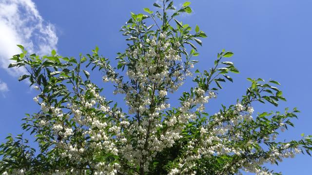 青空に映えるエゴノキの花