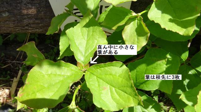 葉は枝先に3枚つく