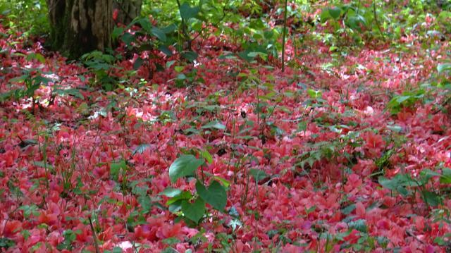 林床は落花のじゅうたん