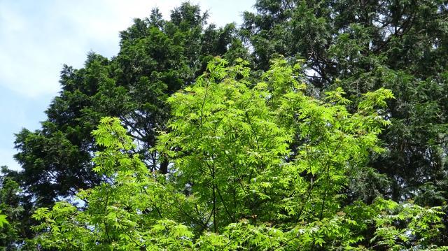 ナナカマドの新緑が美しい