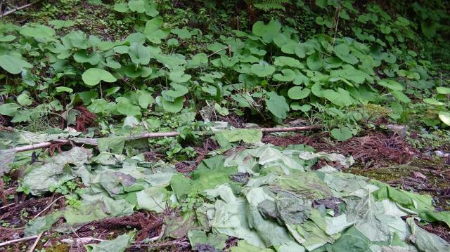 オタカラコウの採取跡