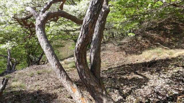太い幹の樹皮はクロマツみたい