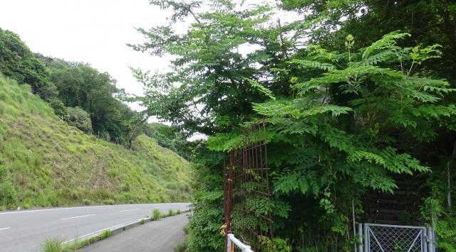 南あわじ市で一番大きなタラの木