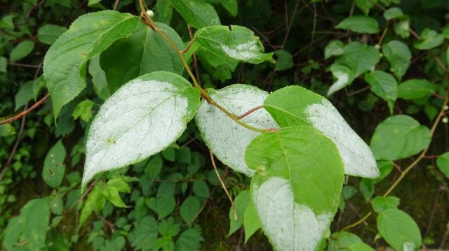 マタタビの白化葉