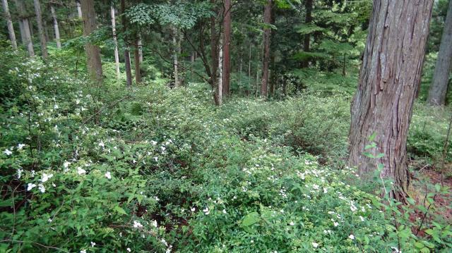 スギ植林の林床はコガクウツギだらけ