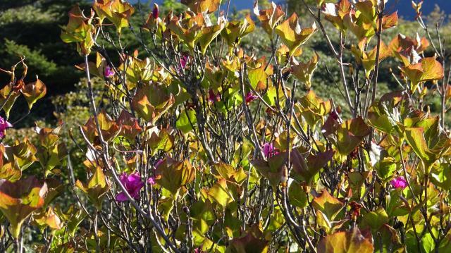 ツルギミツバツツジに花はなし