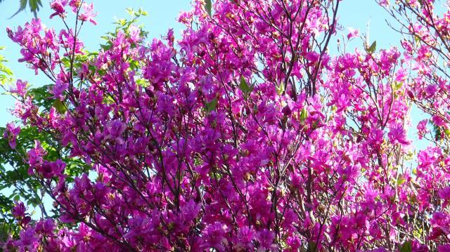 ツルギミツバツツジの花