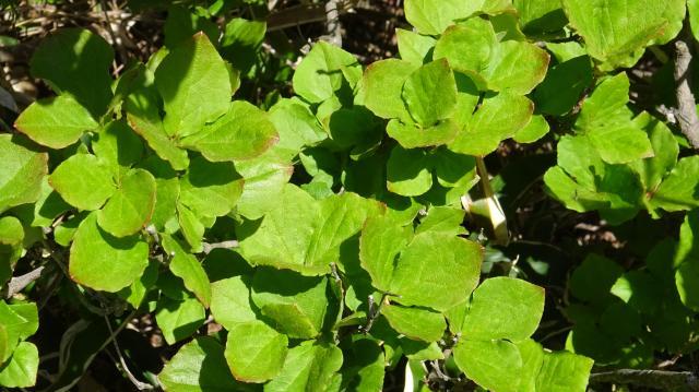 ツルギミツバツツジの葉