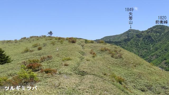 登山道の両側にツルギミツバツツジがある
