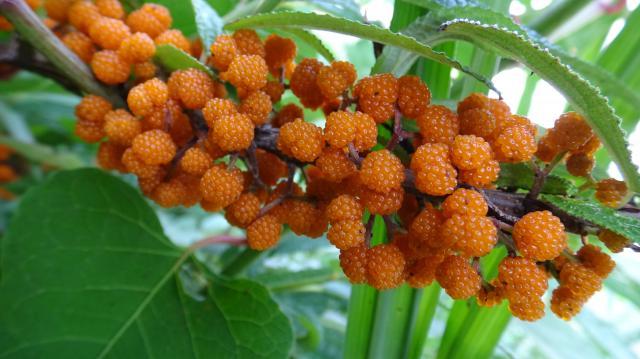 枝にたわわに着くヤナギイチゴの果実