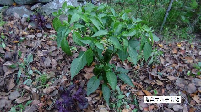 落葉マルチ栽培