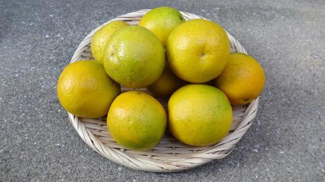 自家栽培のバレンシアオレンジ