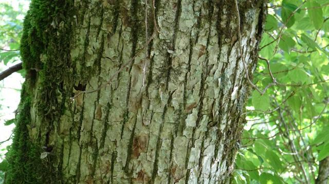 幹径60センチのサワグルミの樹皮