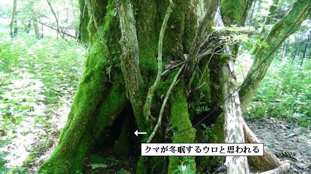 サワグルミの巨樹