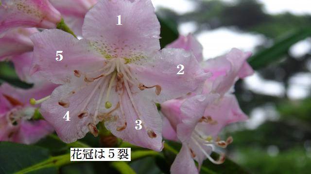花冠は5裂する