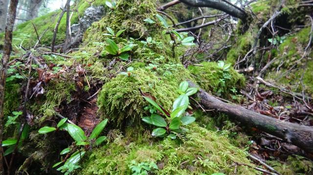 林床には実生苗がたくさん