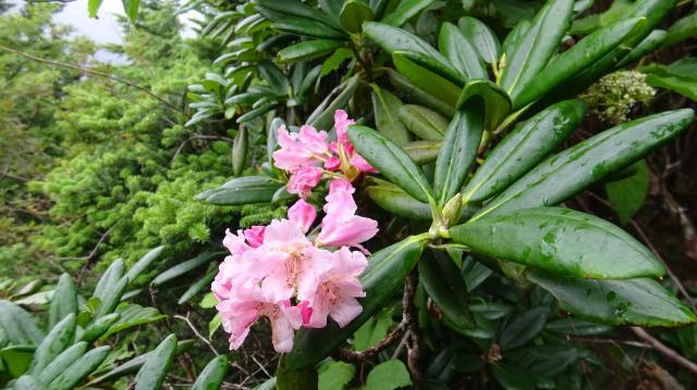 ハクサンシャクナゲの花