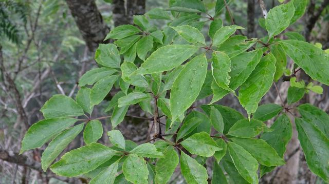 小葉は5枚からなる