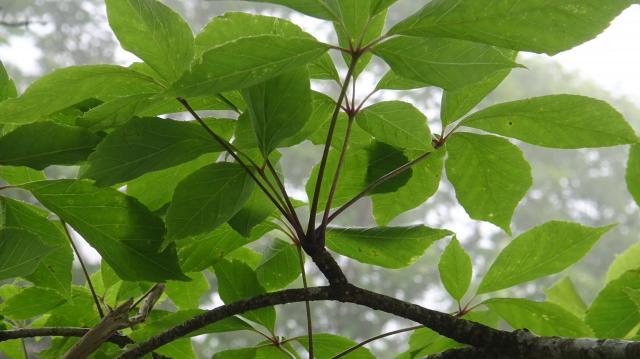 太い枝に数枚の葉が束生する