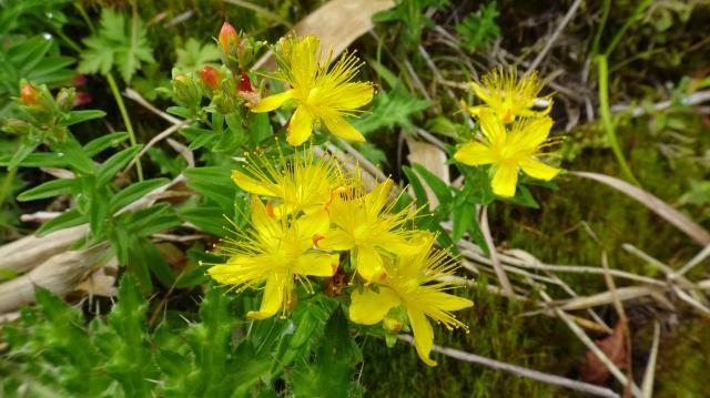 タカネオトギリの花