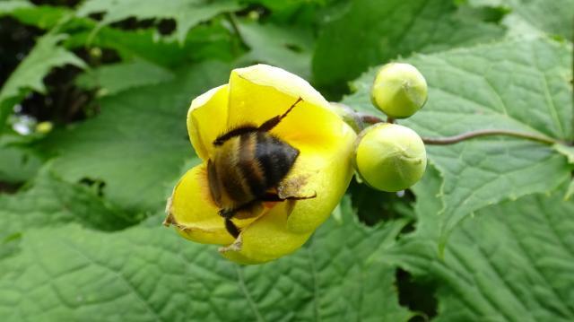 マルハナバチが訪花しています