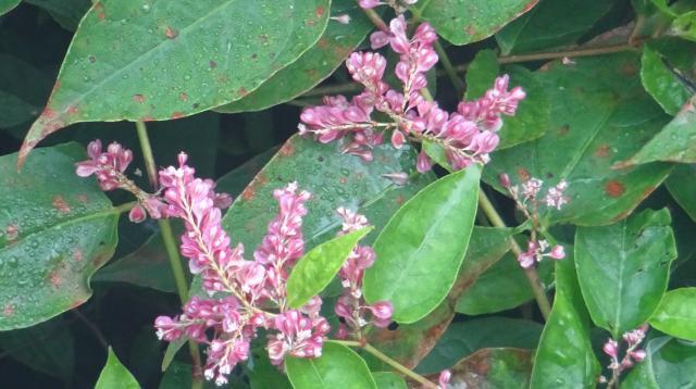 ベニイタドリの花