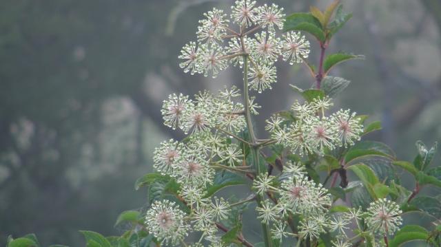 ウドの花が咲く